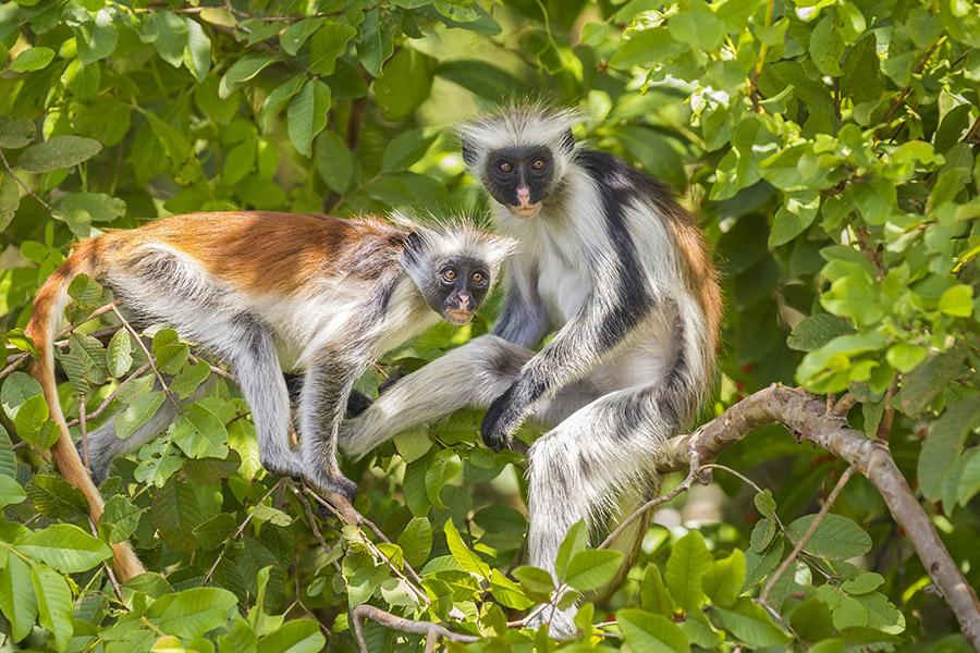 Two red Colobuse Monkey in a rainforest of Jozani Chwaka Bay National Park, Zanzibar, Tanzania, Africa