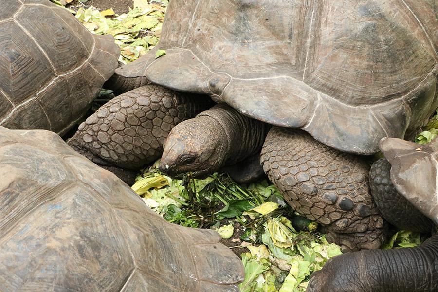 Giant turtoise in Prision island, near to Zanzibar in Tanzania, Africa, with close ups of them